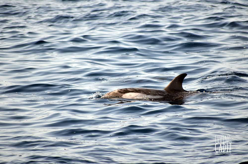 Common Dolphin in Tarifa Whale watching