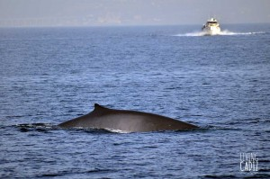 Whales and dolphins in the Strait of Gibraltar