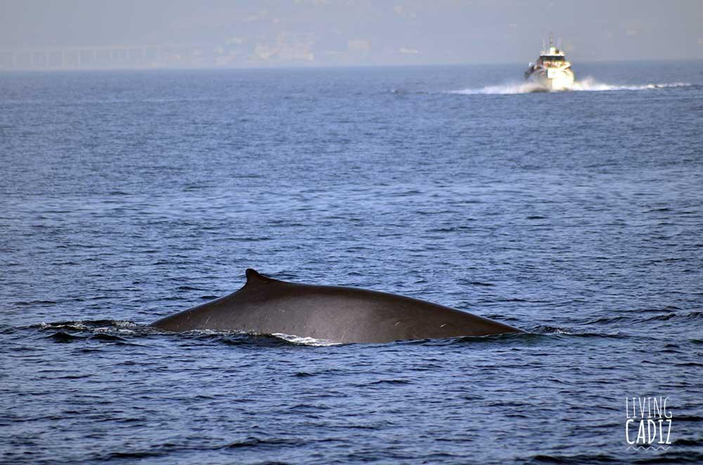 Fin whale watching in Tarifa